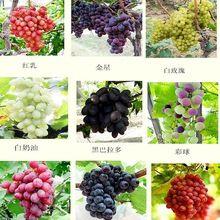 Starszy Dziedziniec Roślin, Pyszne Owoce Kyoho olej z pestek winogron czerwone nasiona wzmianka dziecko-50 nasiona(China (Mainland))