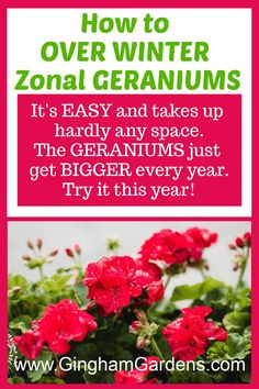 Learn how to keep geraniums over winter, or overwinter zonal geraniums. It's easy, it's frugal and it takes up no space. Plus get other tips for propagating geraniums from cuttings. #frugalgardeningtips #plantpropagation #redgeraniums Container Gardening Vegetables, Succulents In Containers, Container Flowers, Container Plants, Vegetable Gardening, Gardening For Beginners, Gardening Tips, Flower Gardening, Propagating Geraniums