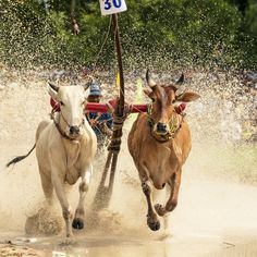 Unidentified jockey steers bulls across the muddy paddy field in the race of 'Don Ta' festival (ancestral festival of Khmer Krom people) on Oct 4, 2013 in Chau Doc. #vietnam   #vietnamese   #Khmer   #ethnicity   #minority   #culture   #agriculture   #festival   #traditional   #community   #spirituality