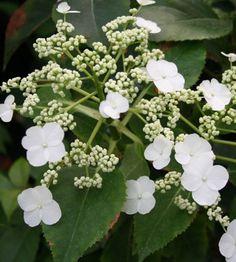 Hydrangea anomala « semiola » ou hortensia grimpant persistant pot 3 litres 40/60 centimètres