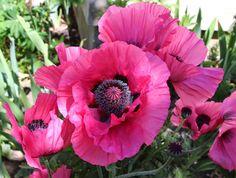 Raspberry Queen Oriental poppy