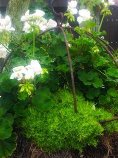 Moss with white hydrangea's