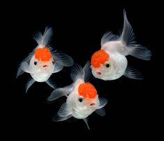 goldfishes | Os peixes kinguios podem alcançar 30 cm e viver cerca de 10 anos, em ...