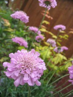 Pink scabius flower