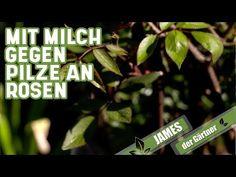 Die Milch macht's - bei Pilzen an Rosen   James der Gärtner - YouTube Amarillis, Calm, Herbs, Youtube, Landscape Nursery, Garden Art, Milk, Remedies, Learning