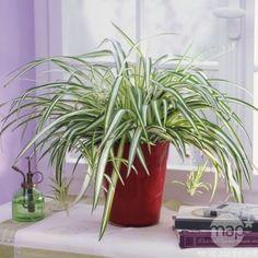 Chlorophytum : suspension Ø18cm / Chlorophytum / Le Chlorophytum vit bien en suspension dans un lieu sans courant d'air. // monoxyde de carbone : La gazinére, le four à gaz, les appareils de chauffage, les aliments brûlés (cuisine)