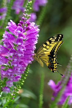 Yellow and black butterfly on purple blossoms