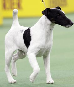 THE TERRIER GROUP WINNER IS…    Adam the Smooth Fox Terrier! Way to go, little dude!
