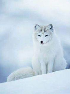 Beautiful arctic wild world! Beautiful arctic fox ◇◆◇◆◇◆◇  /) /) ฅ( Nature Animals, Animals And Pets, Beautiful Creatures, Animals Beautiful, White Fox, Wild Dogs, Tier Fotos, Cute Baby Animals, Stuffed Animals