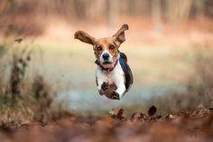 Flying dog by Stanislav  Marko - Photo 149402251 - 500px