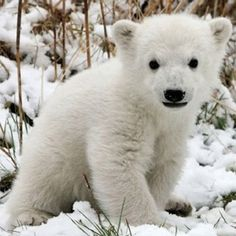 Polar bears are an endangered species. Look at this cuteness. Too precious to lose.