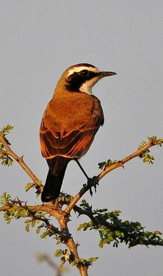 Capped Wheatear (Oenanthe pileata). A small Old World flycatcher, it is found in the grasslands of eastern and southern Africa. photo: Ian White.