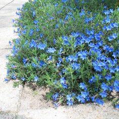 Lithodora diffusa 'Heavenly Blue' Plant Zones, Blue Plants, Blue Flowers, Heavenly, Landscape, Scenery, Corner Landscaping