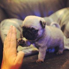 Funny Animals High Five Pug
