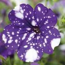 Selecta Klemm S Petunia Nightsky Is Named Fleuroselect Winner Horticulture Week Types Of Flowers
