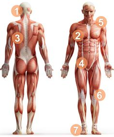 Muscular Skeleton Muscular Skeleton muscular and skeletal systems. the skeletal/muscular systems courtney jaeger on prezi. muscular skeleton muscular system muscles of the h Human Muscle Anatomy, Human Anatomy, Human Body Muscles, Major Muscles, Fix Your Posture, Bad Posture, Fitness Bodybuilding, Muscular Strength, Medical Anatomy