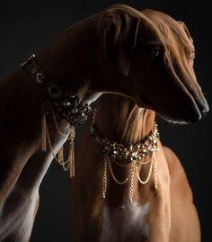 Azawakh (African Hound) - Photographer: Paul Croes