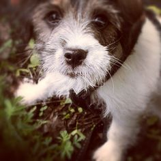 heididahlsveen:  Is this #eatable? #atsjoo #valp #puppy #dog #dogstagram #hund