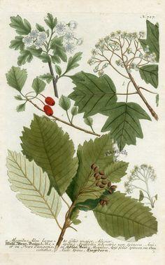 Mespilus Alni lanato folio major, Alisier (1024×1650)