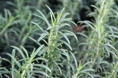 rosemary - Rosemary is used for digestion problems, including heartburn, intestinal gas (flatulence), liver and gallbladder complaints, and loss of appetite. It is also used for gout, cough, headache, high blood pressure, and reducing age-related memory loss.