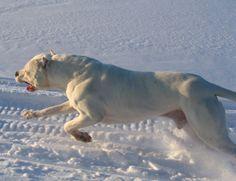 My mastiff of choice Argentino Dogo. Dogo Argentino Breeders, Dog Argentino, Wild Boar Hunting, Hunting Dogs, Texas Hunting, Guard Dog Training, Dog Emoji, Boxer, Big Dog Breeds