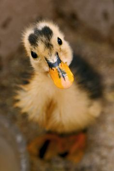 A cute Baby duck.  Quack, Quack!!  :-)  Baby animals are soo cute.  They are still beautiful when they grow up too.