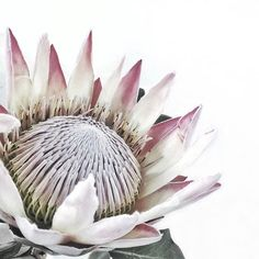 .. Minimal Photography, Floral Photography, Nature Photography, Protea Art, Protea Flower, Big Flowers, Flower Boxes, Botanical Illustration, Flower Art