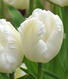 These white Parrot Tulips almost look like feathers. These Parrot tulips are from Crocus on Jane Cumberbatch's Pure Style Blog