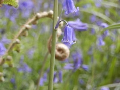 Uncurling behind a bluebell