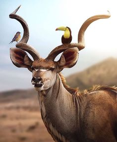 The kudu with his two amazing friends, do you know what kind of birds these are? What is not exactly right about this image? We love kudus… Wildlife Nature, Nature Animals, Animals And Pets, Funny Animals, Cute Animals, Wildlife Photography, Animal Photography, Planeta Animal, Fierce Animals