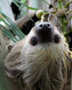 #perezoso en #costarica #animals #sloth