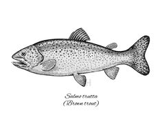 Brown trout - Fish Collection | Eugenia Hauss Black and white ink drawing