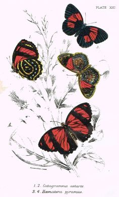 "Kirby Butterflies - ""PYRAMEIS ATALANTA - PLATE XXIII"" - Chromolithograph - 1896"