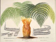Royal Mexican Tree Fern - Cibotium regale - circa 1868