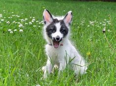 Canadian marble fox by luccistar
