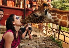 Funny giraffe giving the kiss to woman