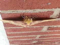 Top view of imperial moth