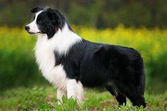 ¿Sabe hasta donde llega la inteligencia de su perro?. Cada perro puede aprender comandos básicos, siempre y cuando hacemos el compromiso de enseñarles. La mayoría de los perros también saben al menos un truco que puede mostrar a los invitados. Sin embargo, algunos perros tienen un poco más de tiempo …