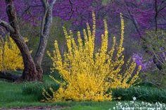 forsythia and spotlight | Forsythia 'Winterthur', yellow flowering spring shrub with Redbud tree ...