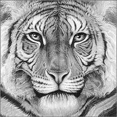 1624_Majesty_tiger_eyes_head_gary_hodges.jpg (366×366)