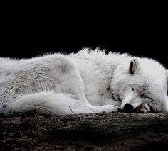 sleepy wolf