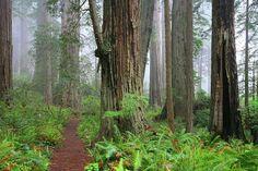 The Lady Bird Johnson Trail, Redwood National Park, Humboldt California