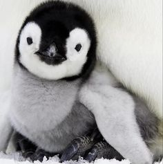 Penguin Animals, Penguin Love, Funny Animals, Penguin Craft, Beautiful Creatures, Animals Beautiful, Babe, Baby Penguins, Kawaii