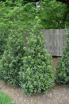 A stunning evergreen shrub to place at the back of your garden bed is the Castle Wall™ Blue Holly. Growing to an impressive 5 to tall, but only 3 to this holly is perfect for mid-sized gardens as it's narrow, pyramidal shape won't overwhelm - Picmia Garden Shrubs, Garden Trees, Shade Garden, Lawn And Garden, Trees To Plant, Garden Bed, House Landscape, Landscape Design, Garden Design