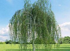 Frunzele de MESTEACAN au EFECT DIURETIC (fara a forta rinichii),provoaca transpiratia...Din frunzele proaspete se prepara si un adaus pentru baie...