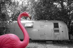 Flamingo      looks to be right at home