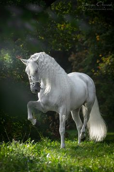 PRE stallion Armas Avellano - Andallusion Champion of Spain from 2009