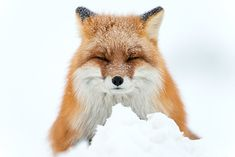 Amateur Photographer Captures Intimate Photos Of Foxes Living In One Of The Worlds Remotest Regions