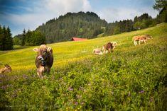 Cows in Kleinwalsertal #kleinwalsertal #visitvorarlberg Festivals, Animals, Meals, Script Logo, Pictures, Funny, Animales, Animaux, Animal