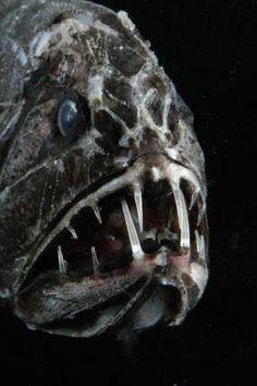 http://ocean.si.edu/slideshow/creepy-critters-marine-life-surfaces-halloween#at_pco=smlwn-1.0&at_si=549e8b9c6120fc71&at_ab=per-2&at_pos=0&at_tot=1 Fangtooth: . Vreemdelingen, monsters, en spookachtige verschijningen in de nacht gloeien. Mariene levensvormen hebben een aantal van de beste looks voor Halloween-geen kostuums nodig. Van freaky vis op de loer onder de oppervlakte om griezelige beestjes van de diepe, voldoen aan een aantal van de vreemdste en meest beklijvende personages van de zee.